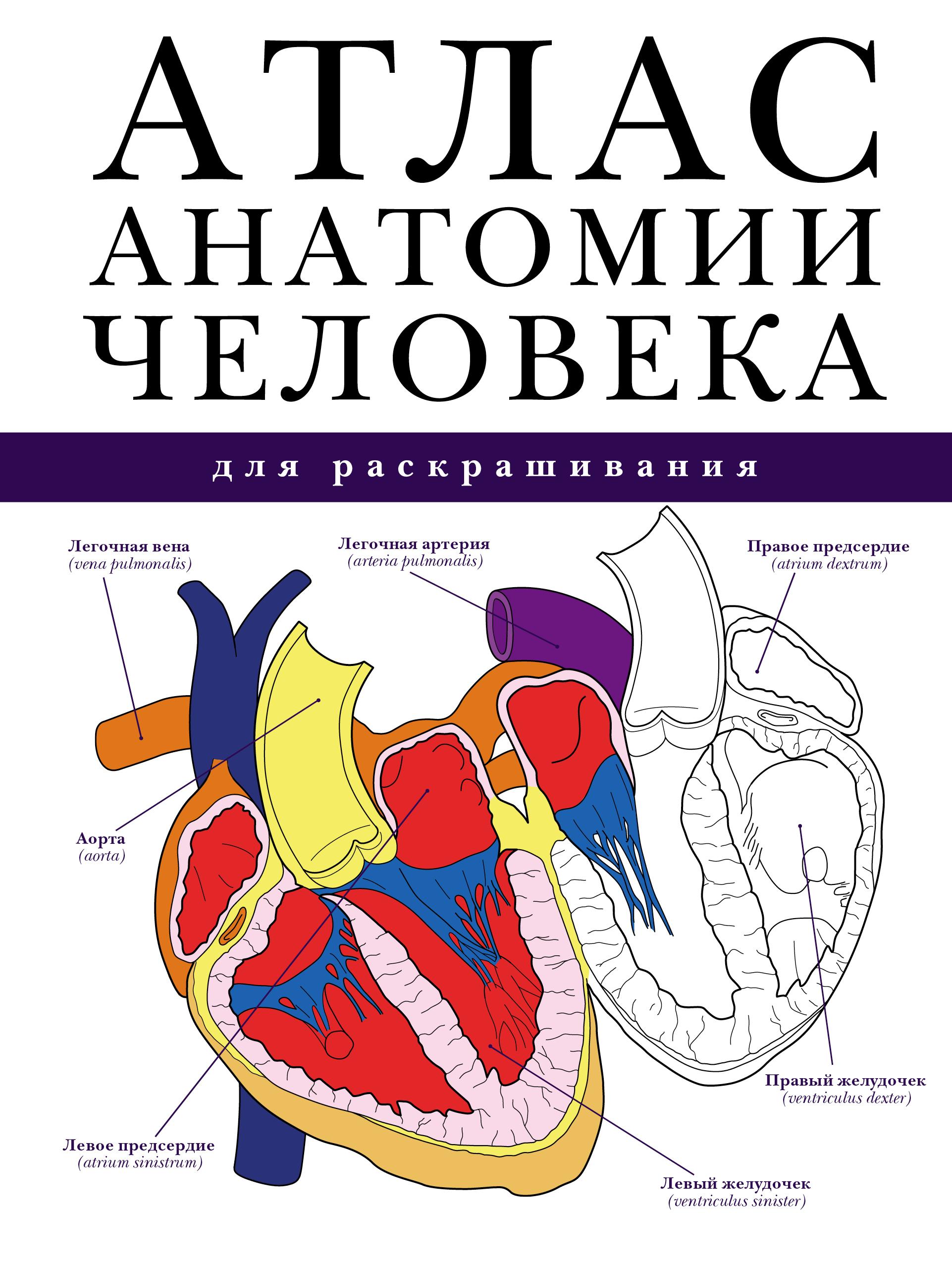 Абрахамс П. Атлас анатомии человека для раскрашивания анна спектор большой иллюстрированный атлас анатомии человека