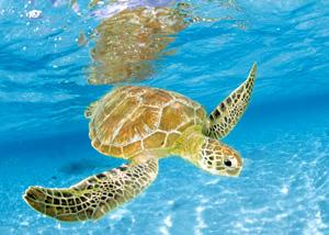Clem(OLD).Пазл.1000К.39069 Морская черепаха
