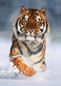 CLem.Пазл. 1000эл. Классика.39171 Амурский тигр