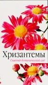 Хризантемы Кабанцева И.Н.