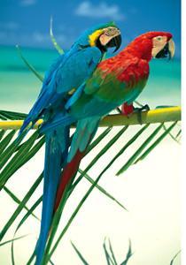 Clem(OLD).Пазл. 500К.30271 Два попугая