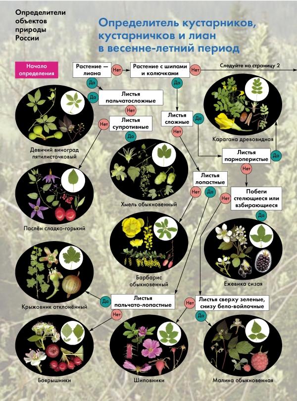Биология. 6-11классы. Определитель кустарников, кустарничков и лиан в весенне-летний период. Буклет