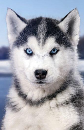 Grumpy Dog (А5)