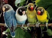 Раскраски по номерам на картоне. Волнистые попугайчики  - раскраски по номерам на картоне (KS008)